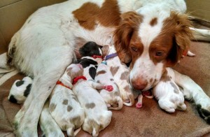 Ruby's Brittany pups