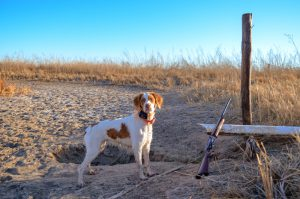 Ruby, female brittany in Kansas